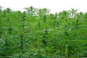 канабисови-растения