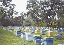 пчелин
