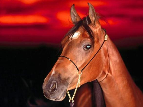 червен кон